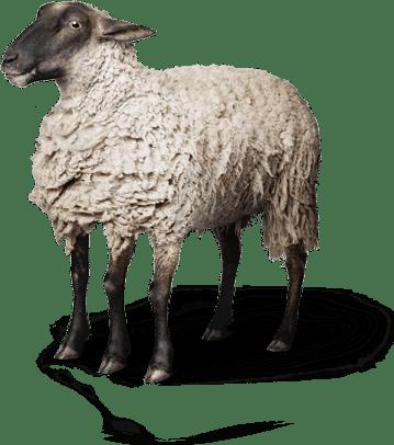 Photo d'un mouton à 5 pattes
