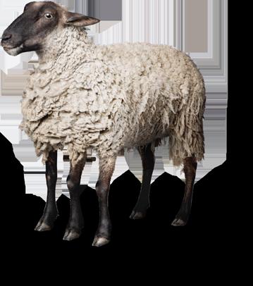 Mouton à cinq pattes